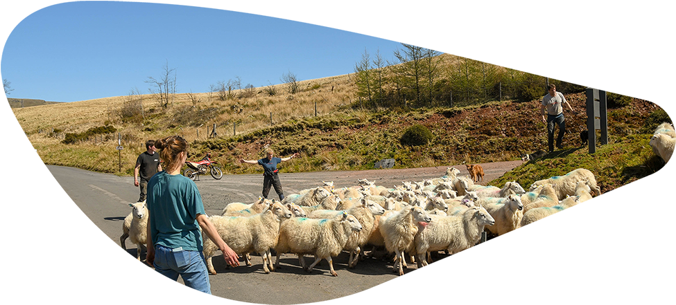 Farmers Rearing Sheep (Cropped)